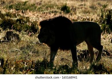 Back lit Lion Male