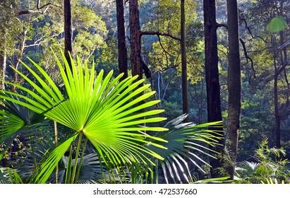 Back lit patterned Cabbage Tree Palm Leaves (Livistona australis) in Australian temperate rainforest, Royal National Park, Sydney, Australia