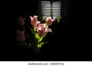 Back lit pink tulips on black, with window in background