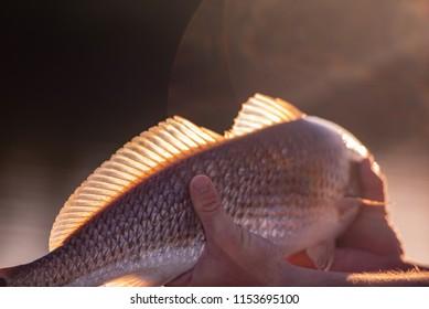 back lit redfish