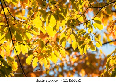 Back lit yellow leaves at golden hour in autumn on a tree branch at a park in Fujikawaguchiko, a resort town in Japan, close to Mount Fuji.