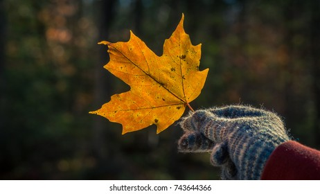 A back lit yellow maple leaf held by a gloved hand