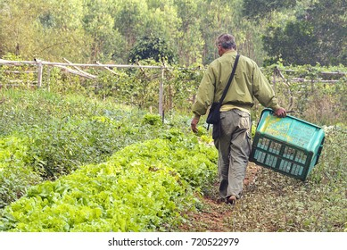 back of a man Gardener Walking and grown a vegetable, and keeping for a fresh food, for sell.