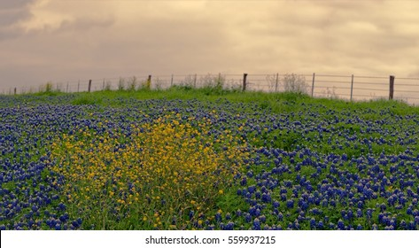 Back roads of west Texan in the Spring, Sunset over the Bluebonnets and wildflowers on the side of a dirt road.