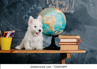 Back to school concept.. West Highland White Terrier puppy with school supplies. Education and learning concept.