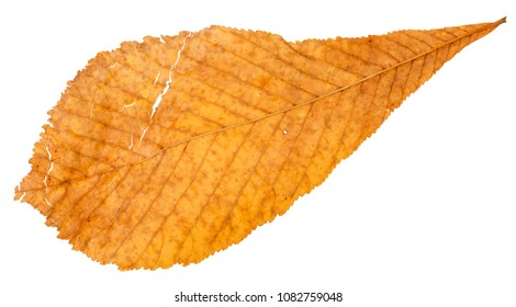 back side of autumn broken yellow leaf of horse chestnut tree isolated on white background