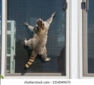The back side of a baby raccoon in full sun as he clings to the screen of a sliding door in an attempt to get in.