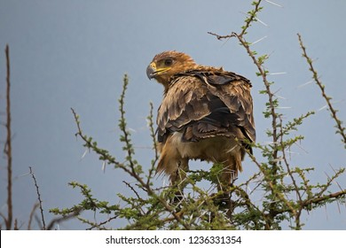 Back side of eagle bird of prey on top of Acacia tree at Serengeti National Park in Tanzania, East Africa