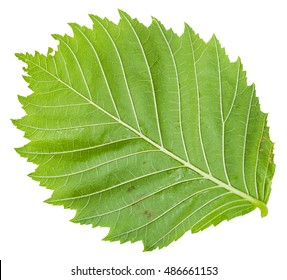 back side of green leaf of Elm tree (ulmus laevis, european white elm, fluttering elm, spreading elm, stately elm, russian elm) isolated on white background