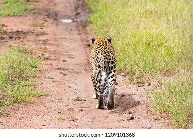 Back side of Leopard showing tail, paw walking at Serengeti National Park in Tanzania, East Africa (Panthera pardus)