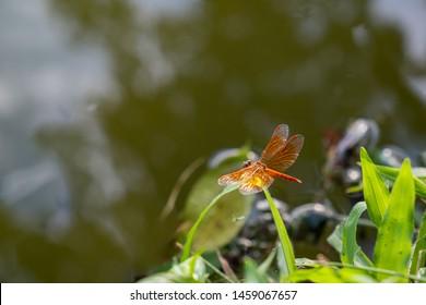 back side of Orange Skimmer Dragonfly or Asian Amberwing, copy space, Brachythemis contaminata, entomology, biology