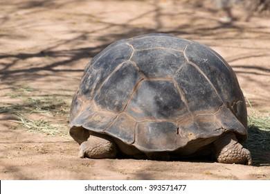 Back side of tortoise as it walks away