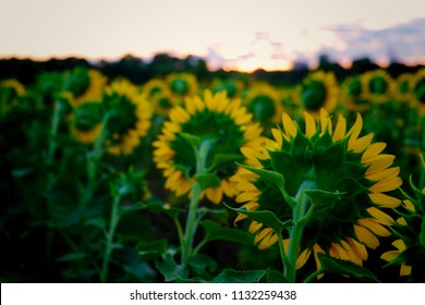 Back side view of the sunflowers which are all facing the rising sun at Dorothea Dix Park in Raleigh North Carolina