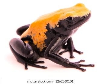 back splashed poison dart frog, Dendrobates galactonotus from the Amazon rain forest in Brazil. Isolated on white