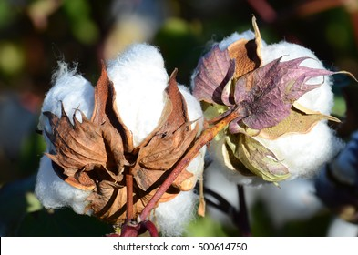 The Back of two  Cotton Bolls