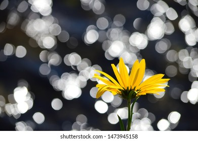 Back underside of yellow daisy with sparkle water background.