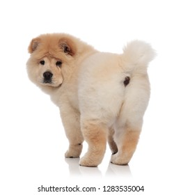 back view of adorable chow chow standing on white background