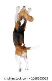 Back view of beagle on hind legs isolated on white