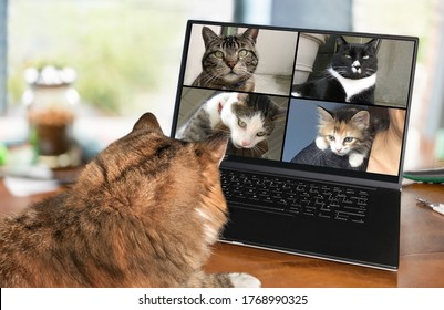 Back view of cat talking to cat friends in video conference. Group of cats having an online meeting in video call using a computer. Focus on cats, blurred background.