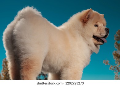 back view of a cute chow chow puppy dog standing against blue sky, outdoor picture