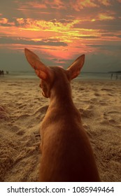 Back view of cute ginger mini pinscher sitting at the beach and watching sunset