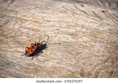 Back view of firebug, Pyrrhocoris apterus on wood trunk. Copy space, selective focus