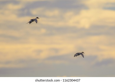 Back view of flying drakes with scoping wings on sky background
