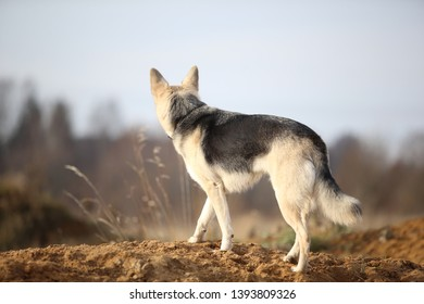 Back view at a husky dog standing in a filed looking aside. Yellow, green, grass and background . Copy space
