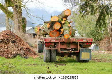 Back view of a logging truck trailer parked in a rural farm with a load of cut cedar trees.
