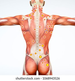 Back view of a man and his trigger points. Anatomy muscles. 3d rendering. Myofascial trigger points, are described as hyperirritable spots in the fascia surrounding skeletal muscle