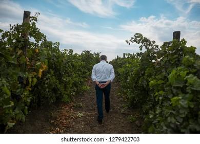 Back view of old man vintner who walking in vineyard.