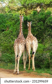 Back view on two South African giraffes feeding from the green bushes.