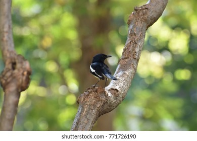 Back view of an oriental magpie-robin standing on a branch