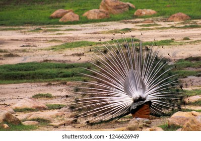 back view of peacock spreading feathers