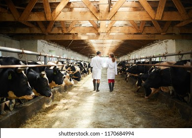 Back view portrait of two modern farm workers wearing lab coats walking by row of cows in shed inspecting livestock, copy space