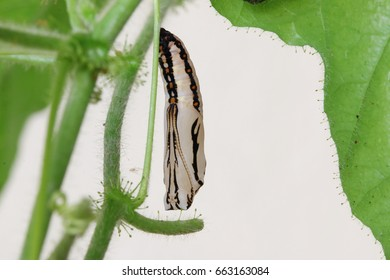 Back view of the pupa of the Tawny Coster butterfly
