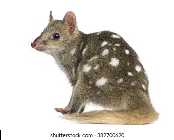 Back view of a Quoll sitting, isolated on white (4 years old)
