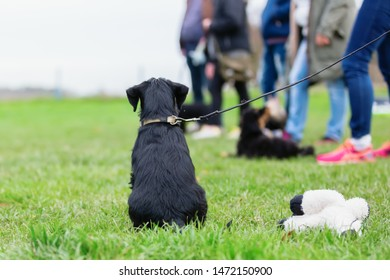 back view of a standard schnauzer puppy who sits during the puppy school on the dog training field