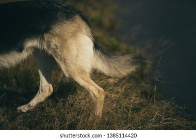 Back view at tail of husky dog on a green meadow. Copy space