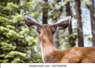 Back view of Young black-tailed deer head, Yosemite National Park, California