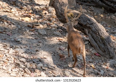 Back view of young male Eld's Deer or brow- antlered deer walking on the ground in the morning sunlight.