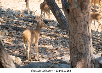 Back view of young male Eld's Deer or brow- antlered deer standing on the ground rocks in forest at the morning.
