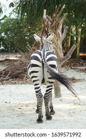 back view of zebra with tail waving to the right diagonally