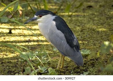 back-crowned night heron. Taken at CorkScrew in Florida.