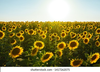 Backdrop Of The Beautiful Sunflowers Garden. Field Of Blooming Sunflowers On A Background Sunset. The Best View Of Sunflower In bloom. Organic And Natural Flower Background.Agricultural On Sunny Day.