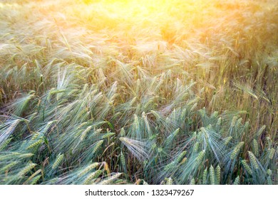 backdrop of ripening ears of wheat field on the sunset orange background Copy space of the setting sun rays on horizon in rural meadow Close up nature photo Idea of a rich harvest.