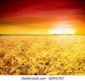 backdrop of ripening ears of yellow wheat field on the sunset