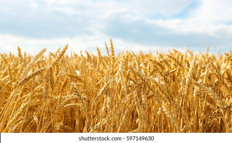 backdrop of ripening ears of yellow wheat field on the sunset cloudy orange sky background. Copy space of the setting sun rays on horizon in rural meadow Close up nature photo Idea of a rich harvest
