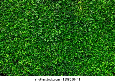 Backdrop and texture of green leaves natural wall.
