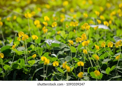 Backgroud image of yellow flowers are blooming in the morning at the fresh green grass field and the light on top.
